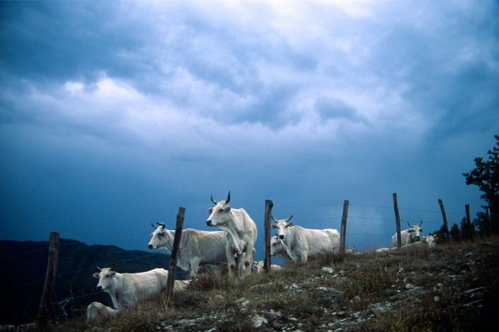fotografia e paesaggi, mucche